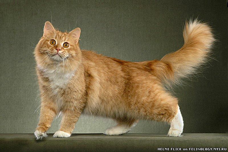 Сибирская кошка всегда привлекала внимание как...